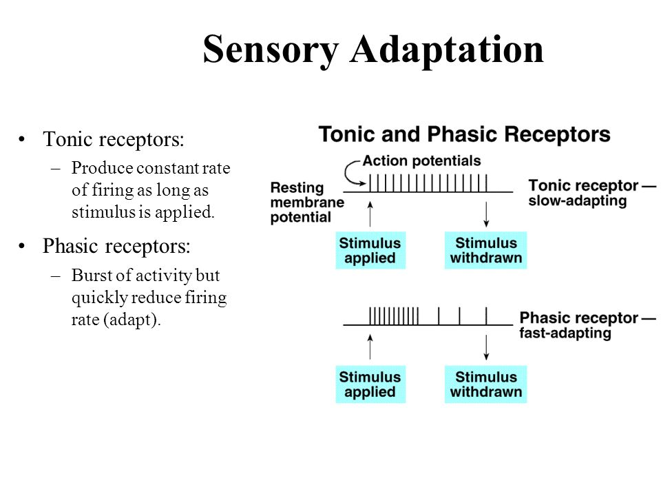 Slide likewise Thermoreceptors Stimulated By Changes In Temperature additionally Slide furthermore The Senses likewise Sensory Adaptation Tonic Receptors A Phasic Receptors A. on sensation 5 senses