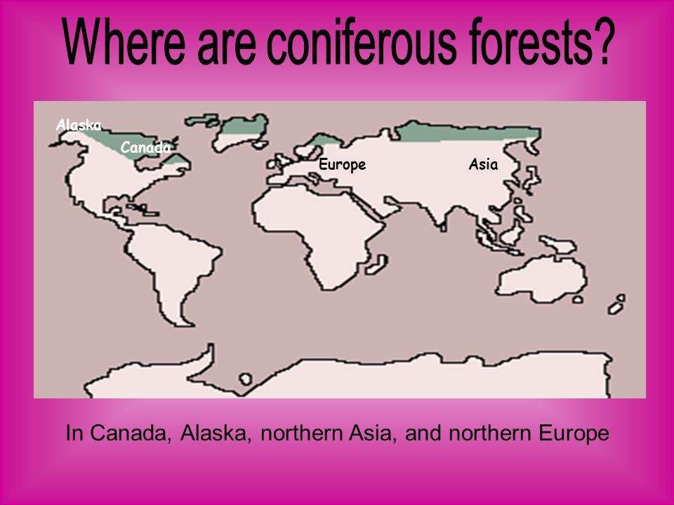 Where are coniferous forests