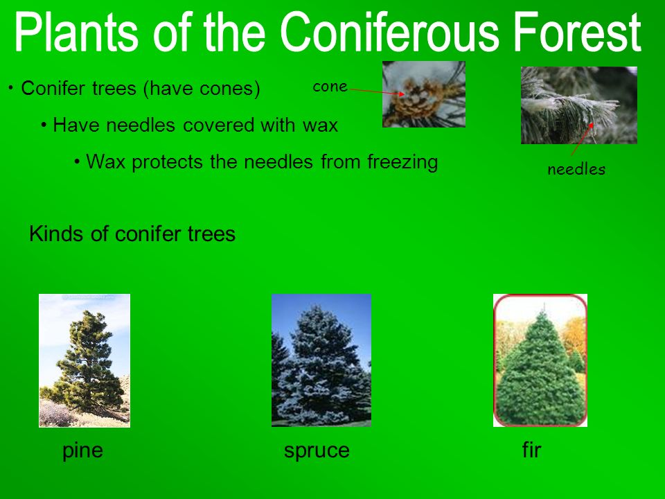 Kinds of conifer trees pine spruce fir Conifer trees (have cones)