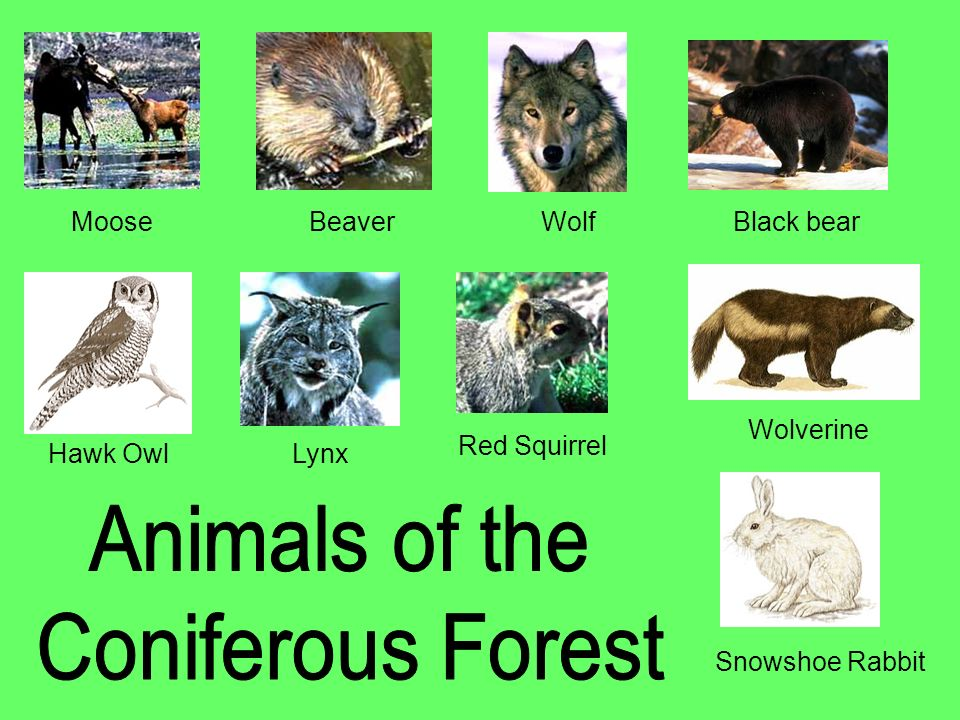 Animals of the Coniferous Forest Moose Beaver Wolf Black bear
