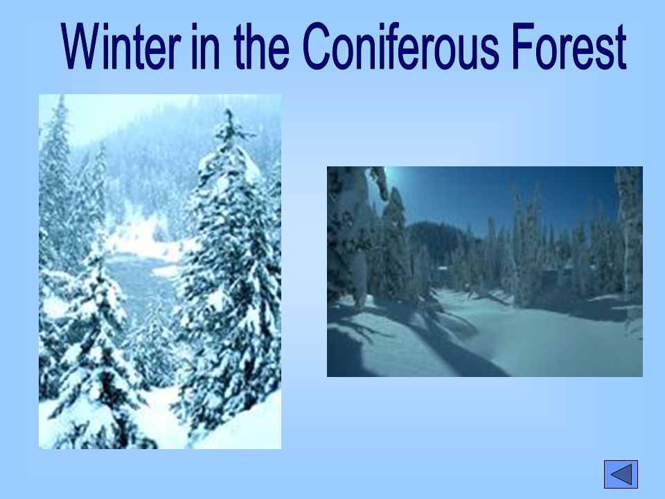 Winter in the Coniferous Forest