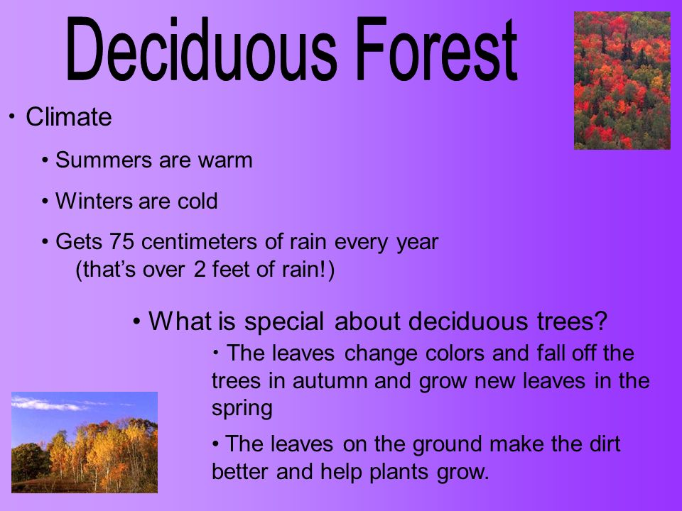 Deciduous Forest Climate What is special about deciduous trees