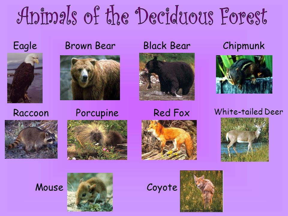 Animals of the Deciduous Forest