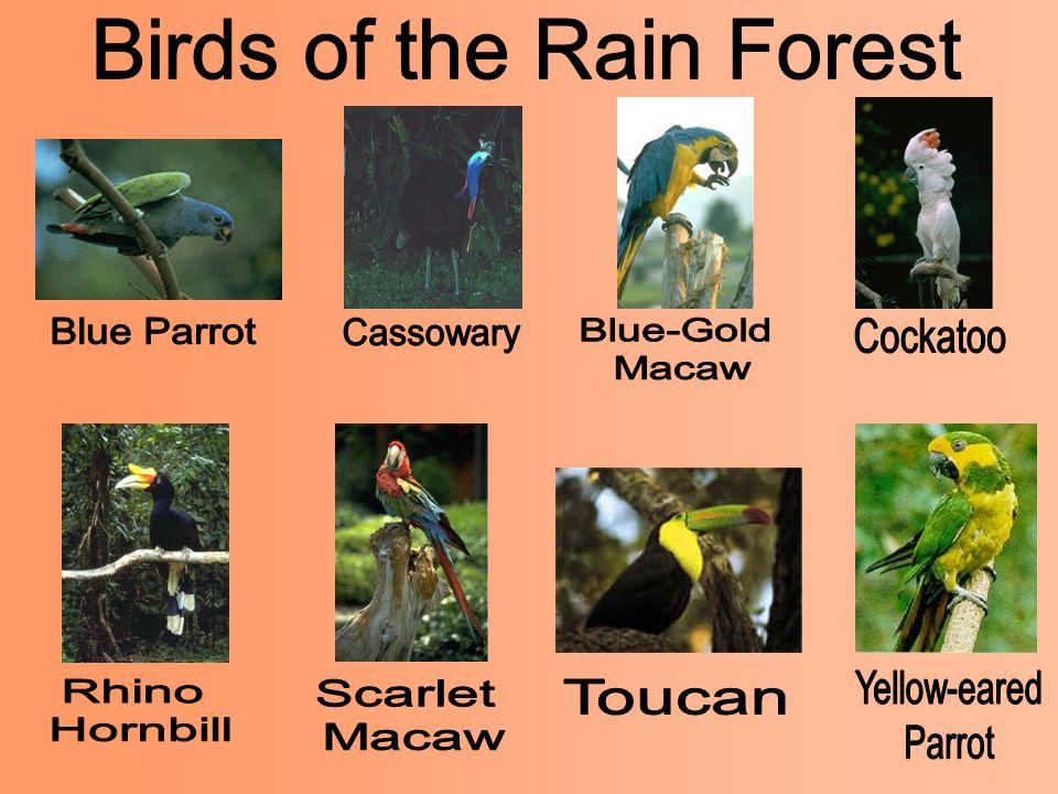 Birds of the Rain Forest
