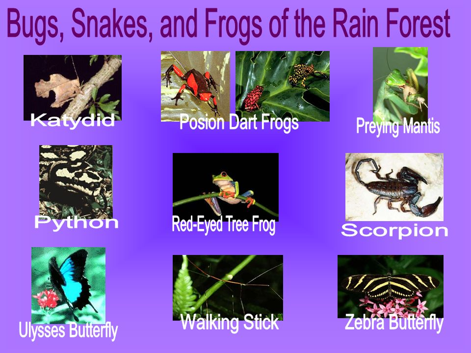 Bugs, Snakes, and Frogs of the Rain Forest