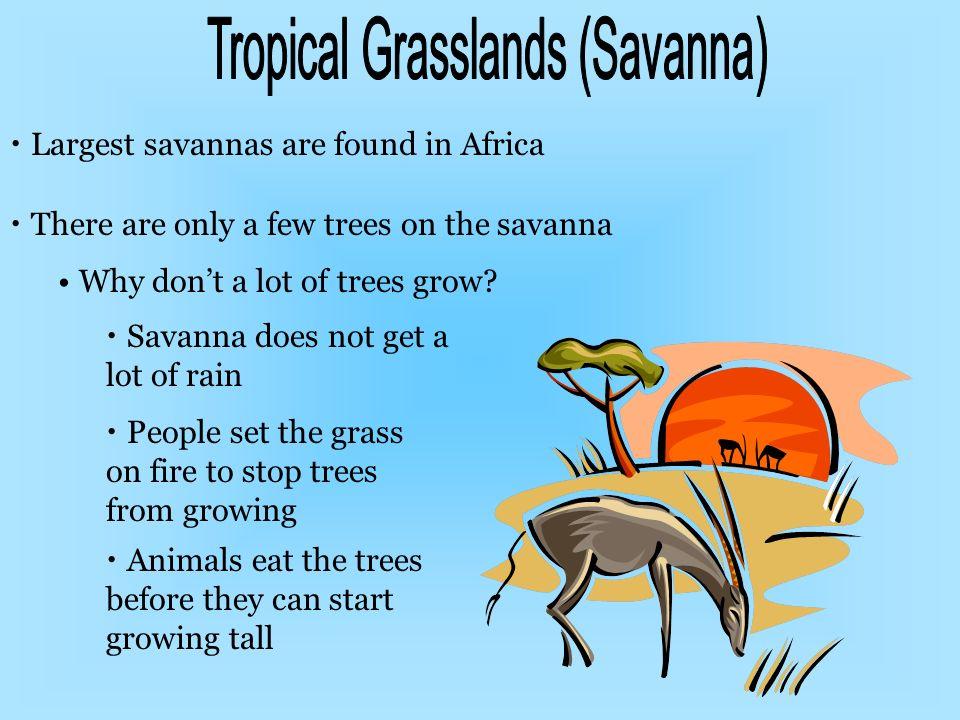 Tropical Grasslands (Savanna)