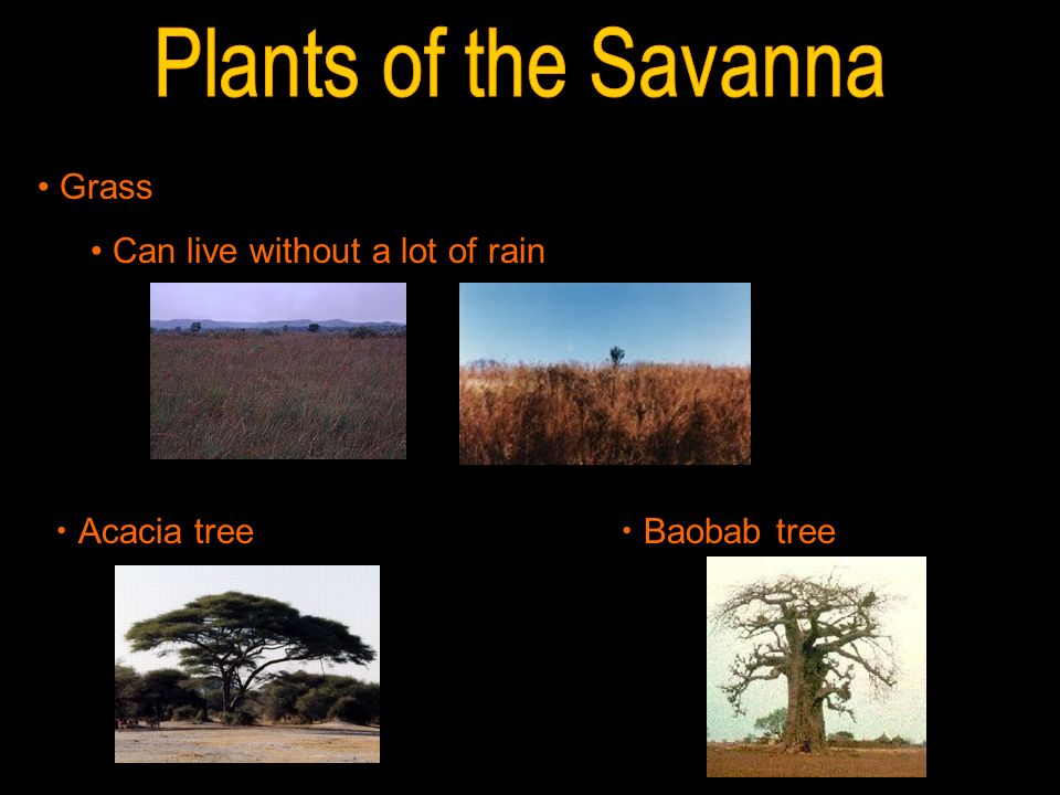 Plants of the Savanna Grass Can live without a lot of rain Acacia tree