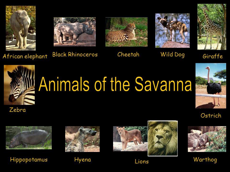 Animals of the Savanna Black Rhinoceros Cheetah Wild Dog