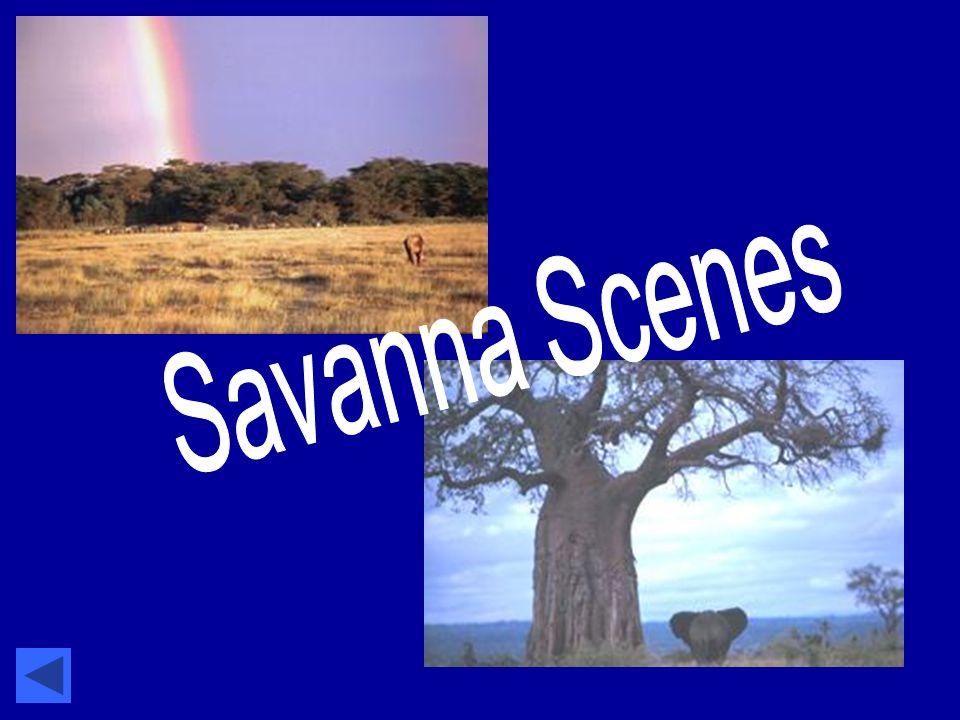Savanna Scenes