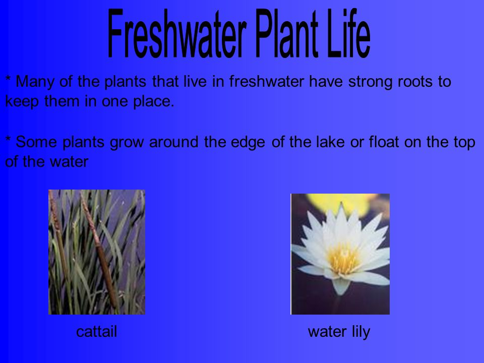 Freshwater Plant Life * Many of the plants that live in freshwater have strong roots to keep them in one place.