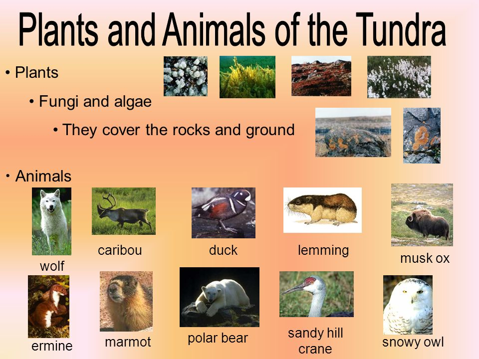 Plants and Animals of the Tundra