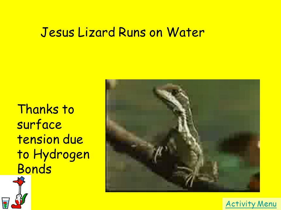 Jesus Lizard Runs on Water