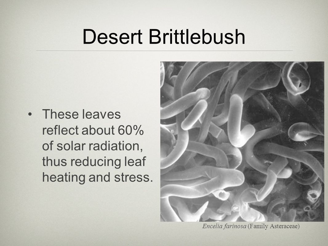 Desert Brittlebush These leaves reflect about 60% of solar radiation, thus reducing leaf heating and stress.