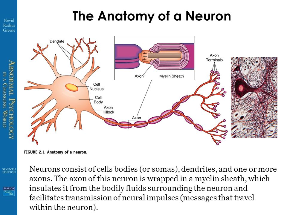 Anatomy of neurons 4604301 - follow4more.info