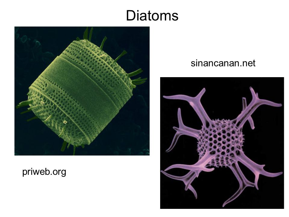 Diatoms sinancanan.net priweb.org