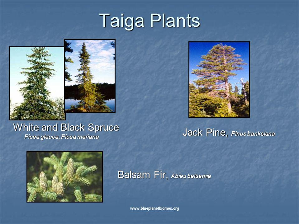 Taiga Plants White and Black Spruce Picea glauca, Picea mariana