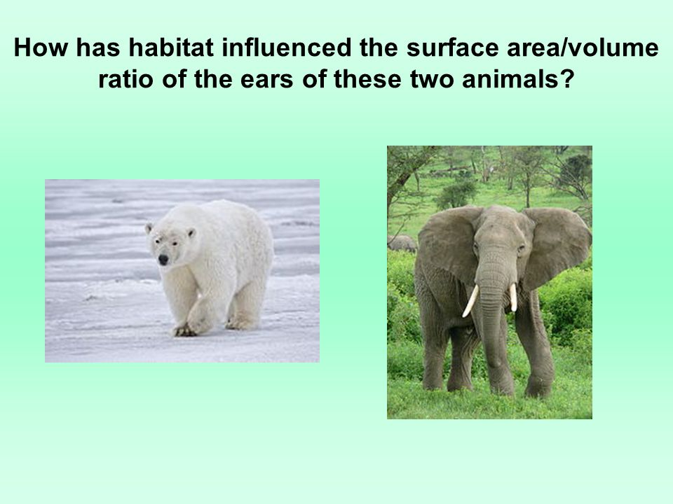 How has habitat influenced the surface area/volume ratio of the ears of these two animals