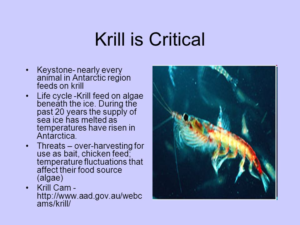Krill is Critical Keystone- nearly every animal in Antarctic region feeds on krill.