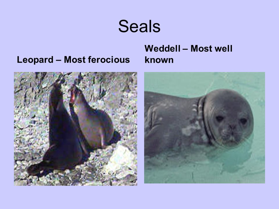 Seals Weddell – Most well known Leopard – Most ferocious