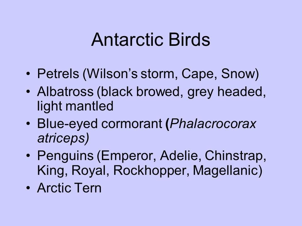 Antarctic Birds Petrels (Wilson's storm, Cape, Snow)