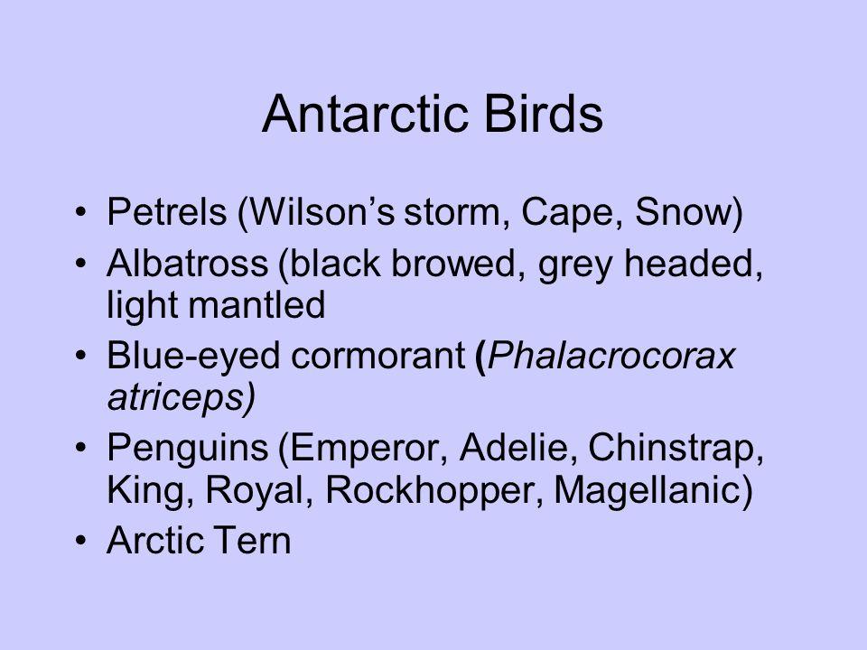 Antarctic Birds Petrels (Wilson's storm, Cape, Snow)
