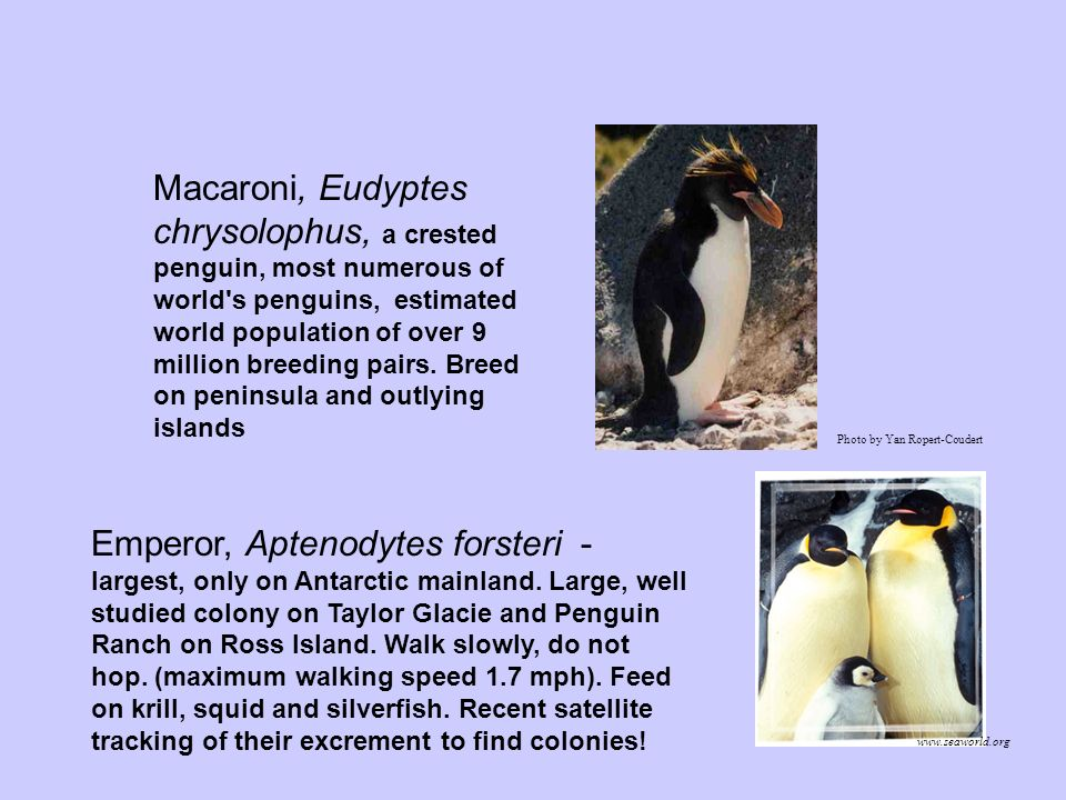 Macaroni, Eudyptes chrysolophus, a crested penguin, most numerous of world s penguins, estimated world population of over 9 million breeding pairs. Breed on peninsula and outlying islands