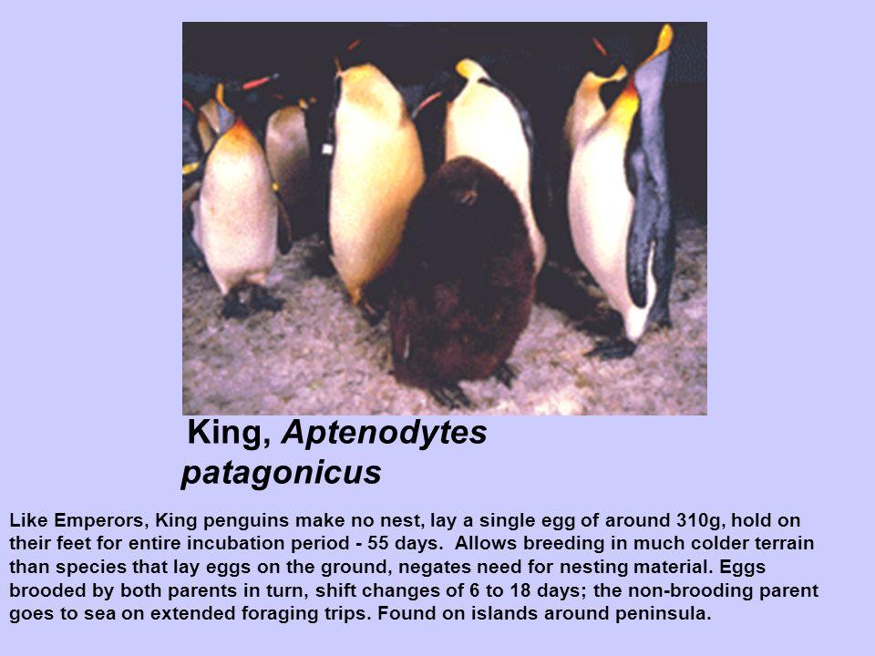 King, Aptenodytes patagonicus