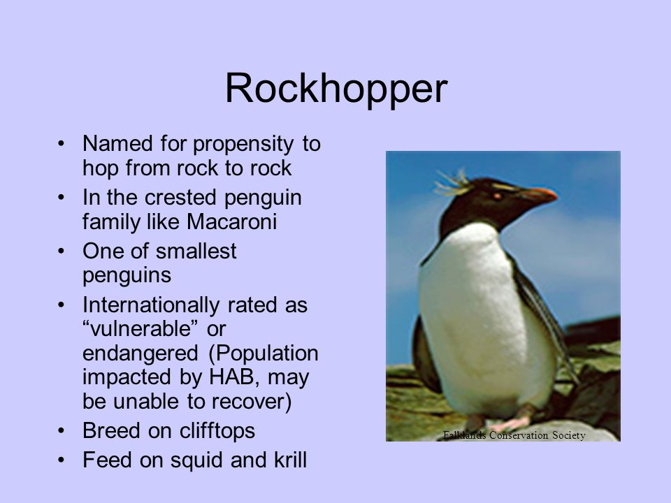 Rockhopper Named for propensity to hop from rock to rock