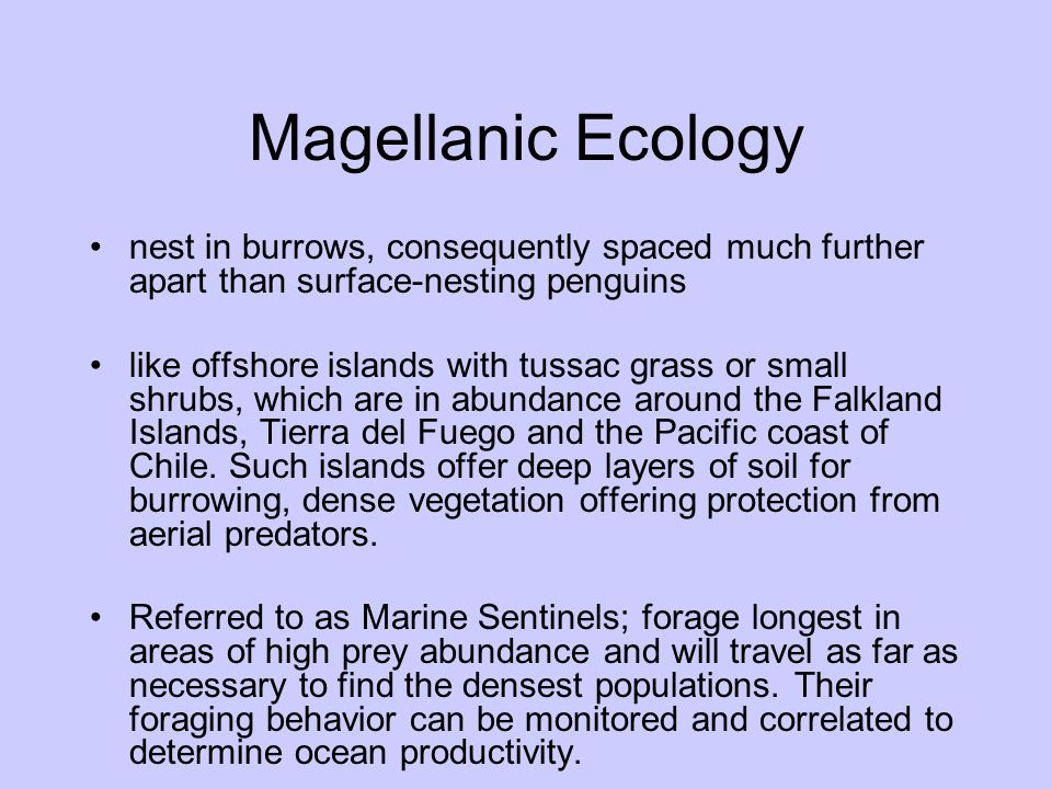 Magellanic Ecology nest in burrows, consequently spaced much further apart than surface-nesting penguins.