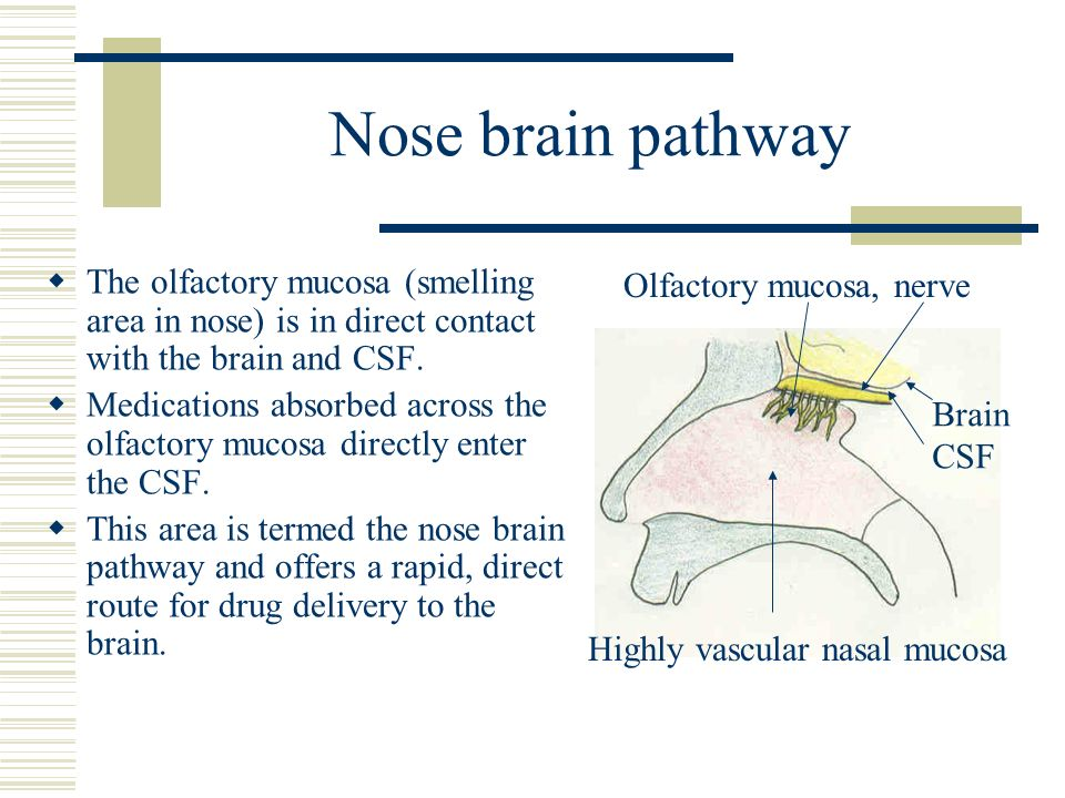 Nose brain pathway The olfactory mucosa (smelling area in nose) is in direct contact with the brain and CSF.