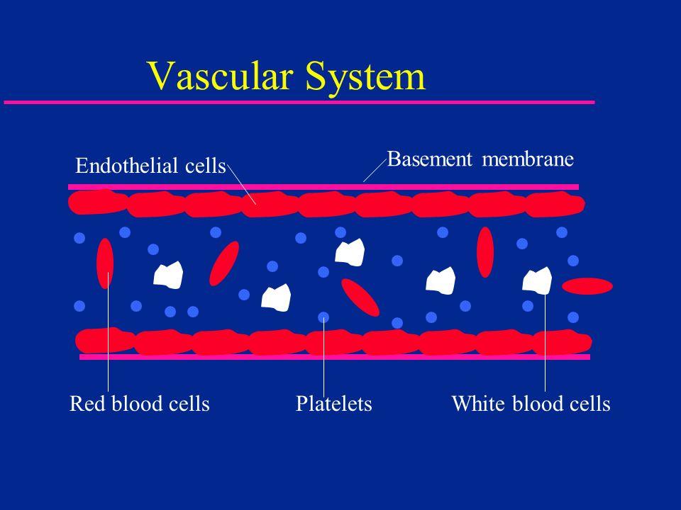Vascular System Basement membrane Endothelial cells
