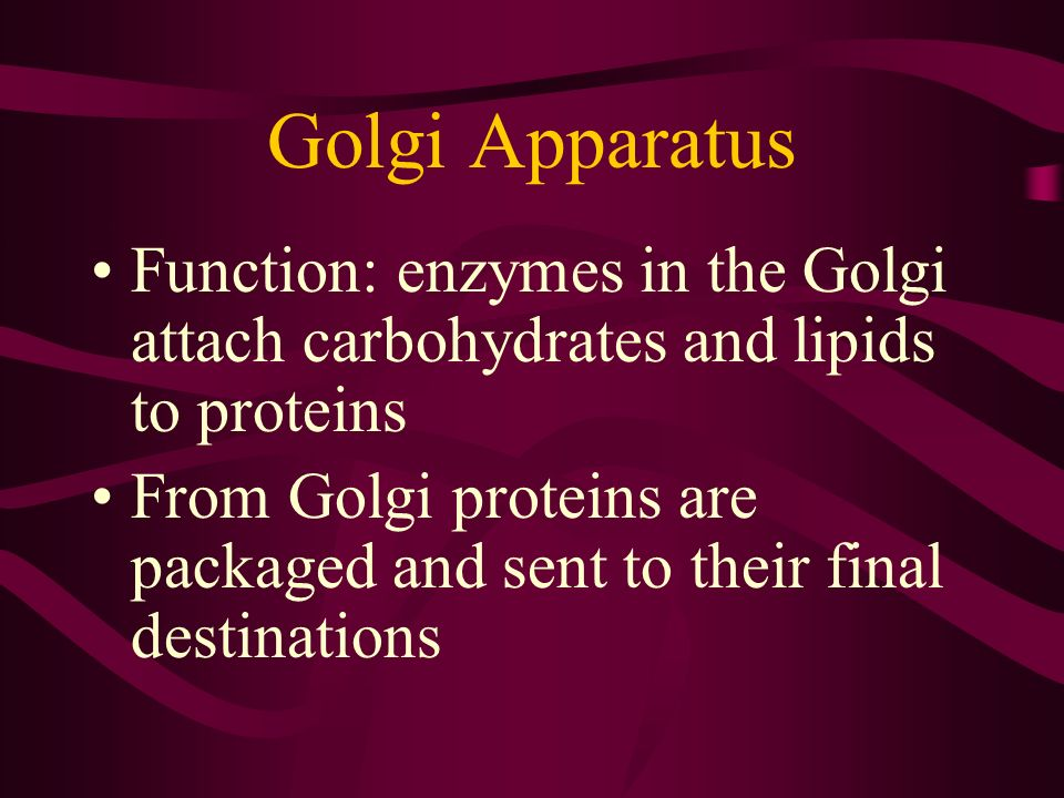 Golgi Apparatus Function: enzymes in the Golgi attach carbohydrates and lipids to proteins.