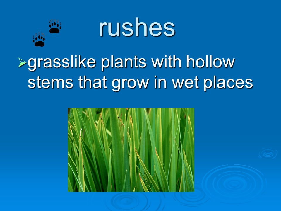 rushes grasslike plants with hollow stems that grow in wet places