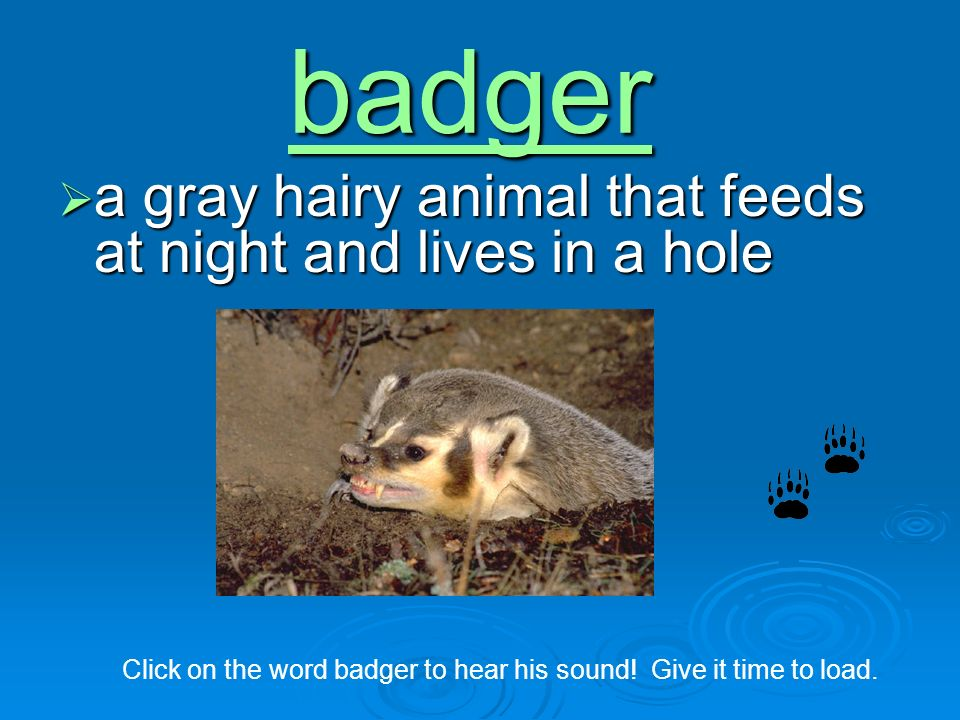 badger a gray hairy animal that feeds at night and lives in a hole