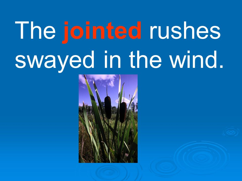The jointed rushes swayed in the wind.