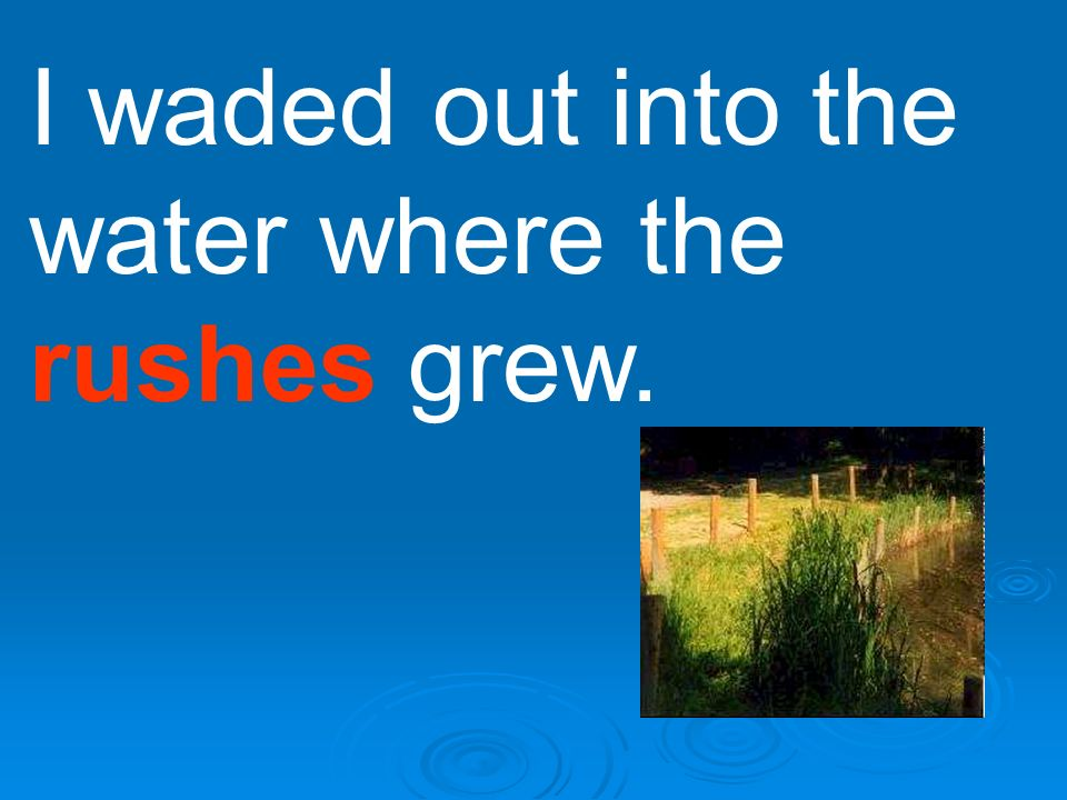 I waded out into the water where the rushes grew.