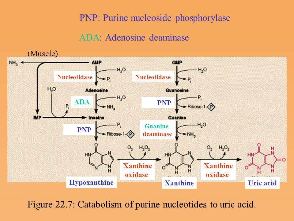 nucleotide metabolism ppt video online download