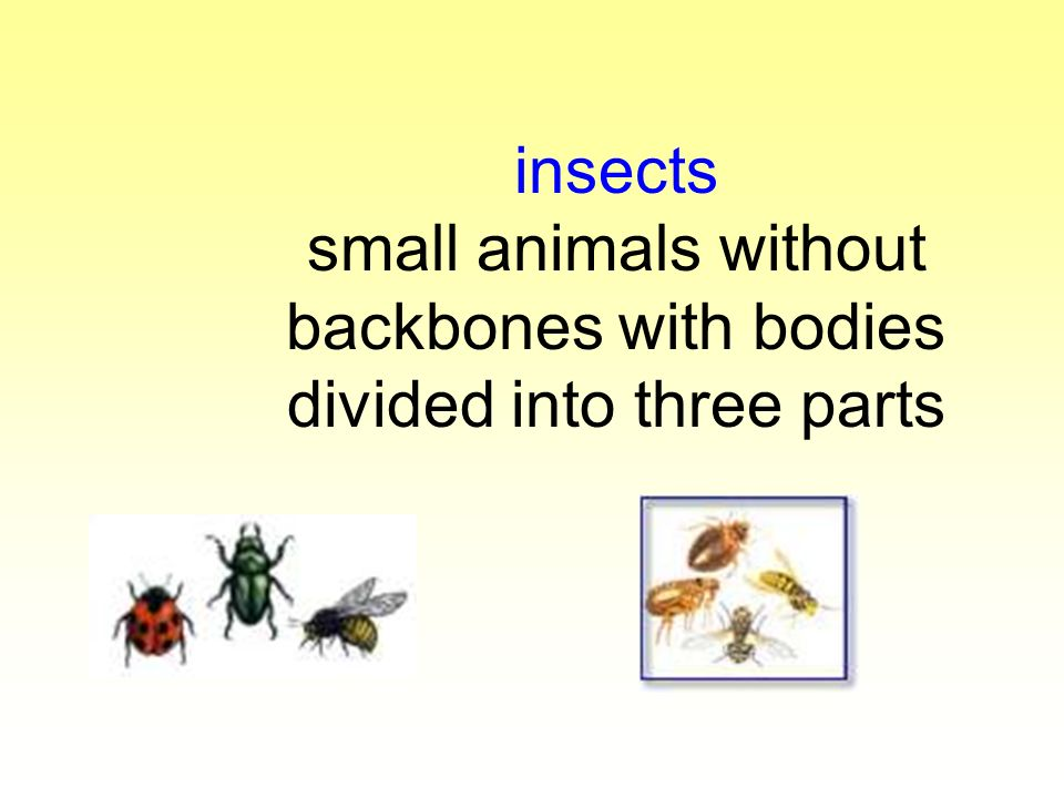insects small animals without backbones with bodies divided into three parts