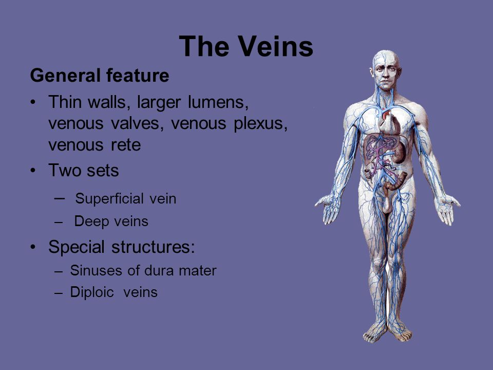 The Veins General feature Superficial vein