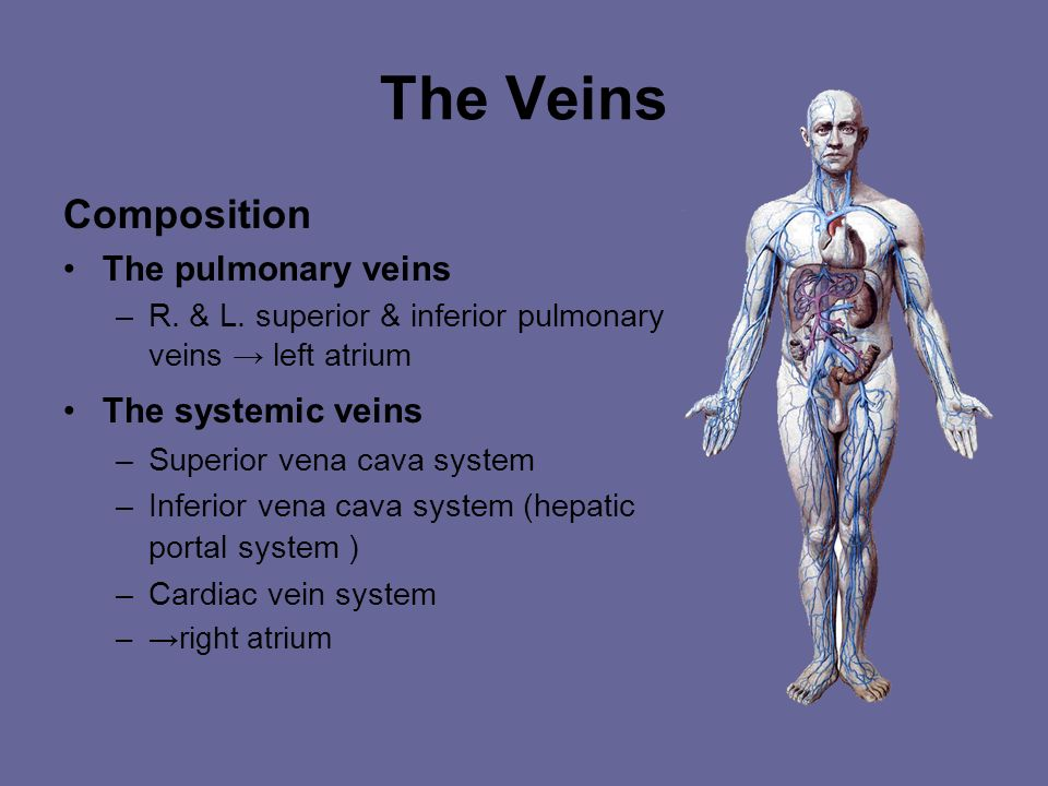 The Veins Composition The pulmonary veins The systemic veins