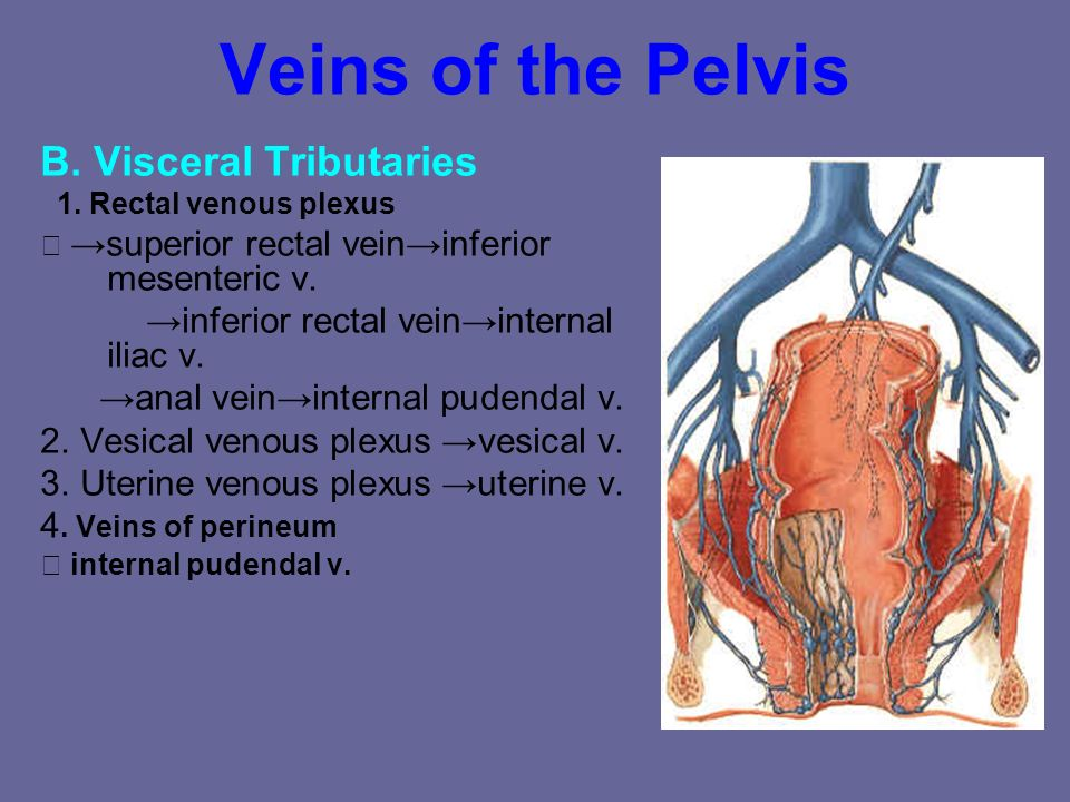 Veins of the Pelvis B. Visceral Tributaries