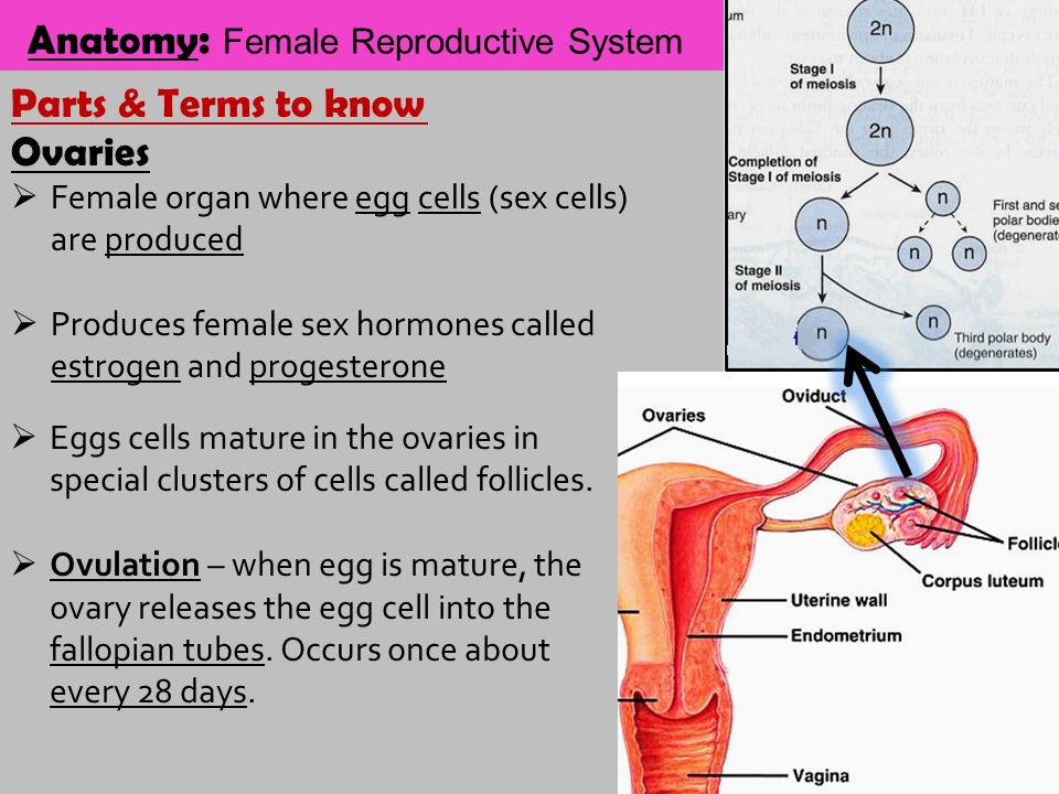 when reproductive organs mature