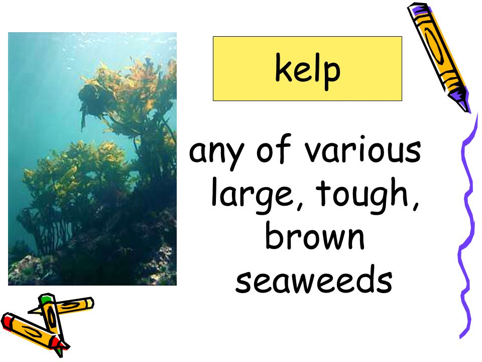 any of various large, tough, brown seaweeds
