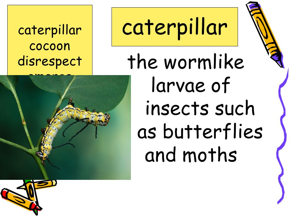 the wormlike larvae of insects such as butterflies and moths