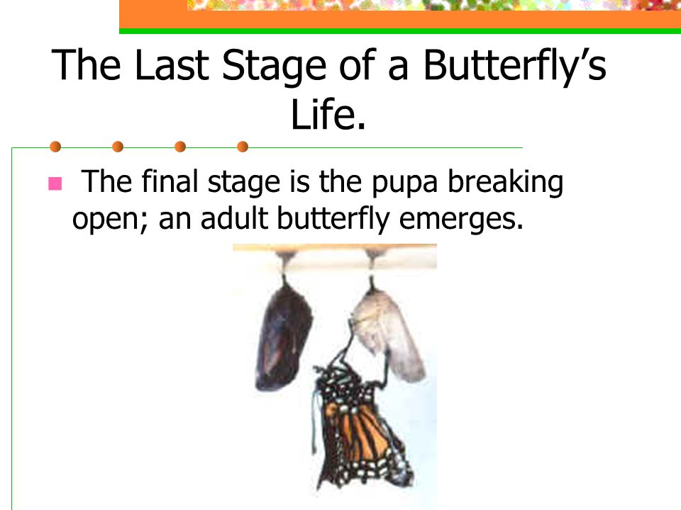 The Last Stage of a Butterfly's Life.