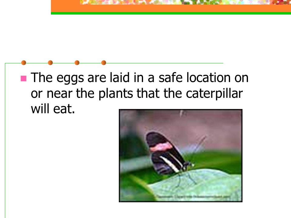 The eggs are laid in a safe location on or near the plants that the caterpillar will eat.