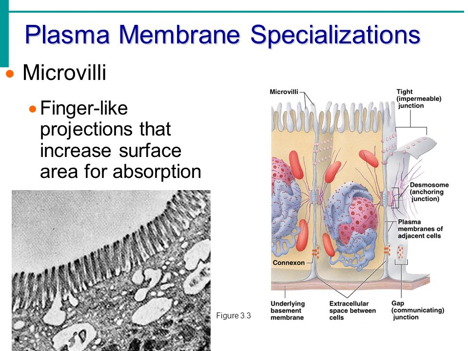 What is the plasma membrane cell membrane?