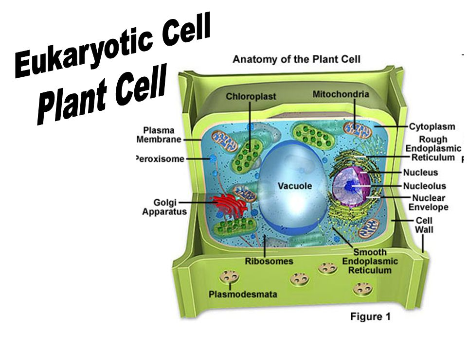 List Of Synonyms And Antonyms Of The Word Eukaryotic Plant