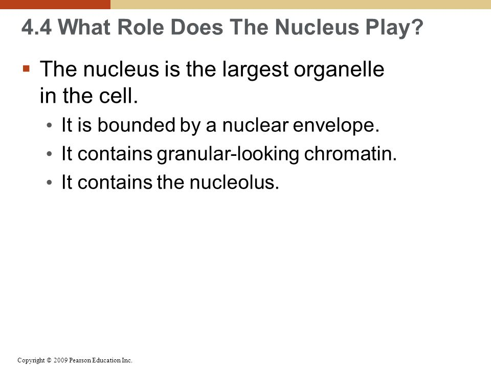 the role of cell nucleus The function of chromatin is to efficiently package dna into a small volume to fit into the nucleus of a cell and  – play a role in shaping chromatin.