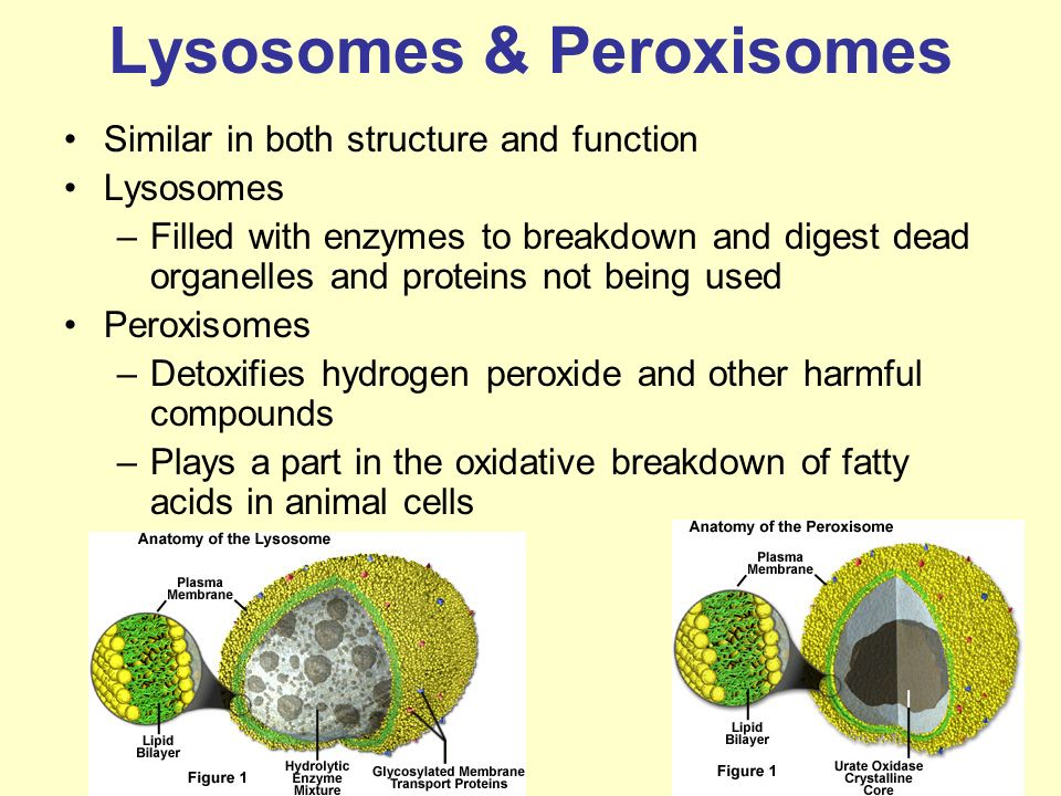 Peroxisome In Animal Cell | www.pixshark.com - Images ...